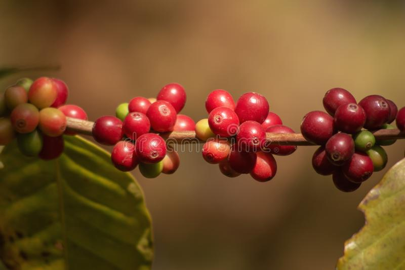 Fresh organic red raw and ripe coffee cherry beans on tree, agriculture plantation in North of Thailand. royalty free stock photos