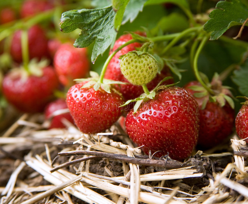 Fresh organic strawberries growing on the vine royalty free stock photos