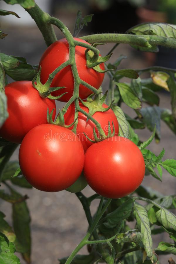 Fresh organic Tomatoes on the Field royalty free stock photography
