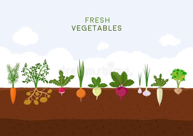 Fresh organic vegetable garden on blue sky background. Garden with different kind root veggies. Set vegetables plant stock illustration