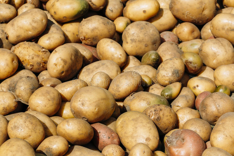 Fresh Organic Young Raw Brown Potatoes On Local stock images