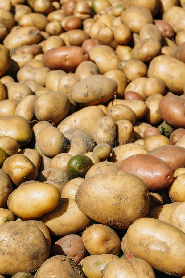 Fresh Organic Young Raw Brown Potatoes On Local Agricultural Vegetable royalty free stock photography