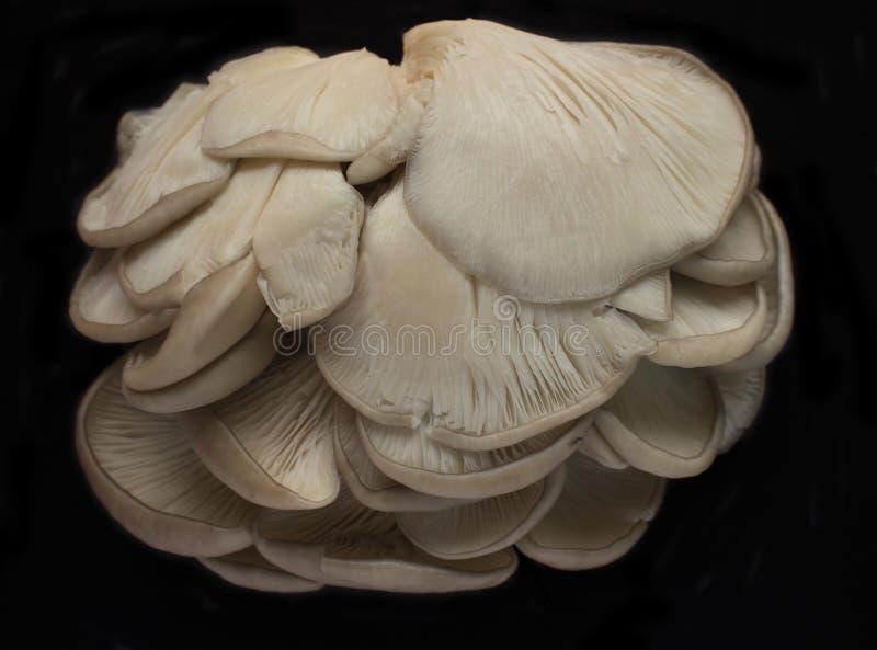 Fresh oyster mushrooms royalty free stock photo