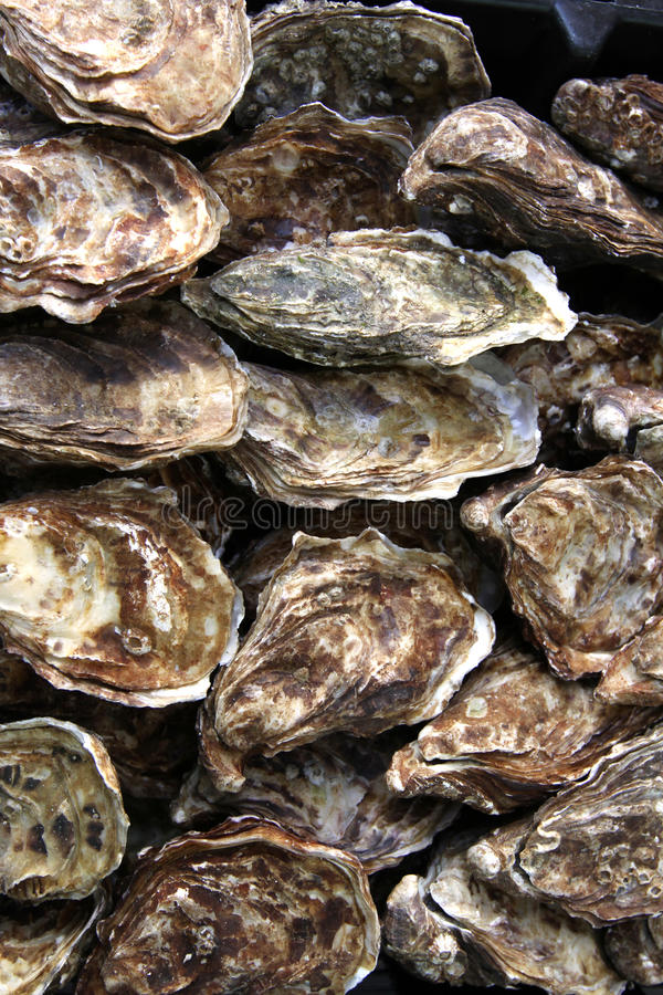 Fresh oysters stock image