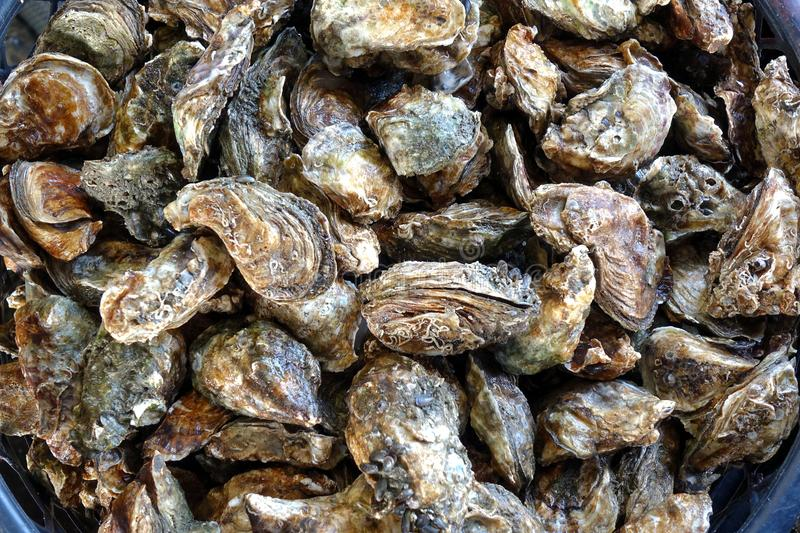Fresh Oysters for Sale stock image