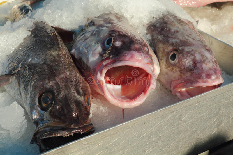 Download Fresh Pacific Cod For Sale Stock Images - Image: 26176484