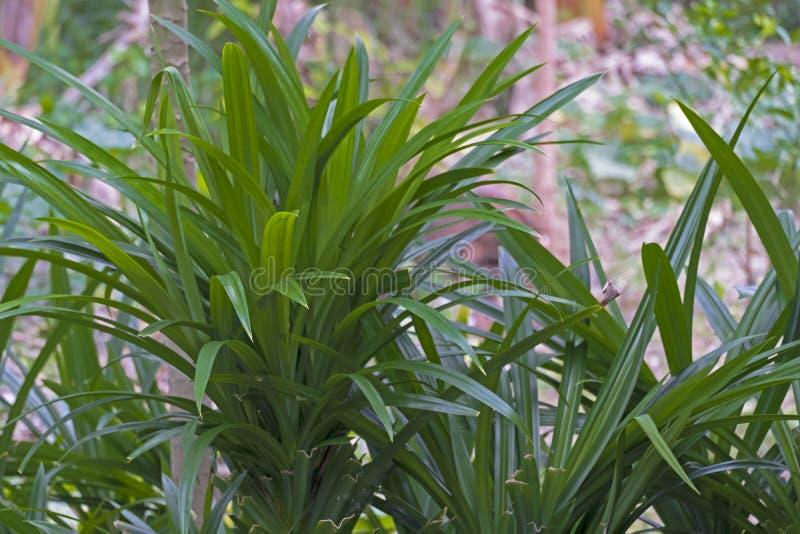 Fresh Pandan leaves on garden. Fresh Pandan leaves on garden royalty free stock image