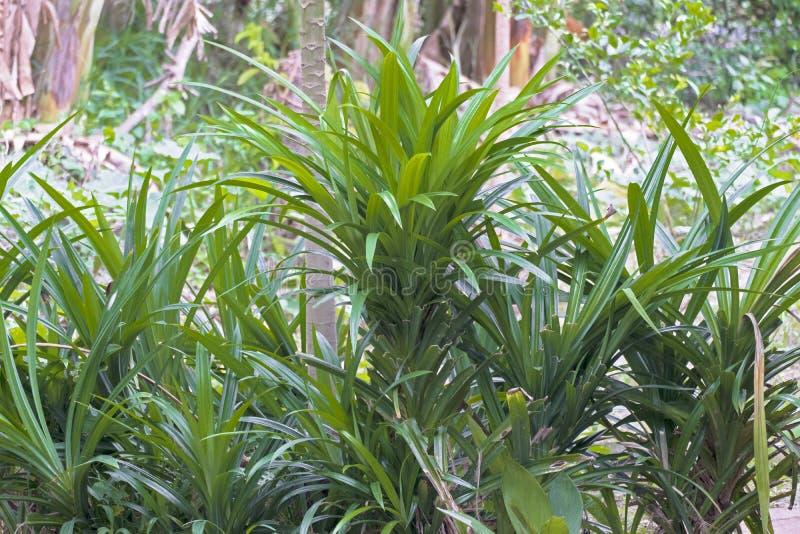 Fresh Pandan leaves on garden. Fresh Pandan leaves on garden royalty free stock images