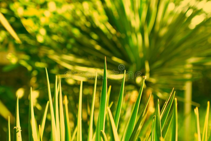 Fresh Pandan leaves isolated on white background.Green Leaves of Grass Blades - Horizontal Panorama - Blades Isolated on. White Background - Toned stock photography