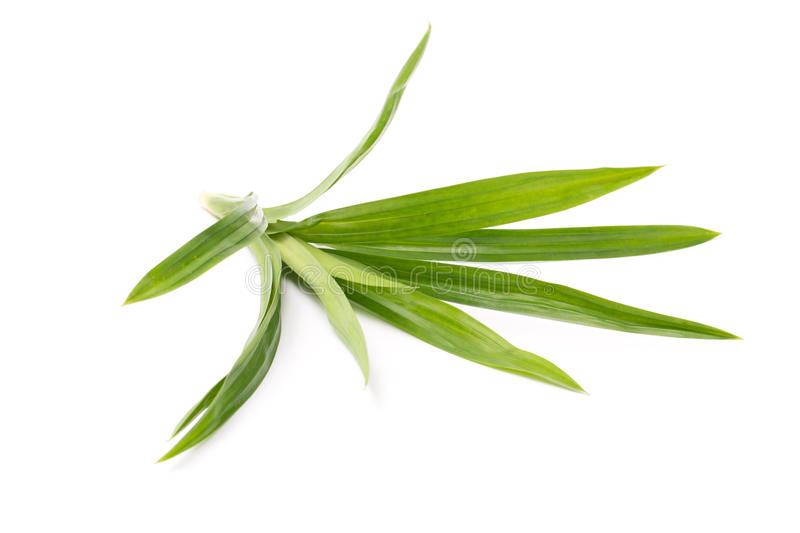 Fresh pandan leaves. On white background stock photography