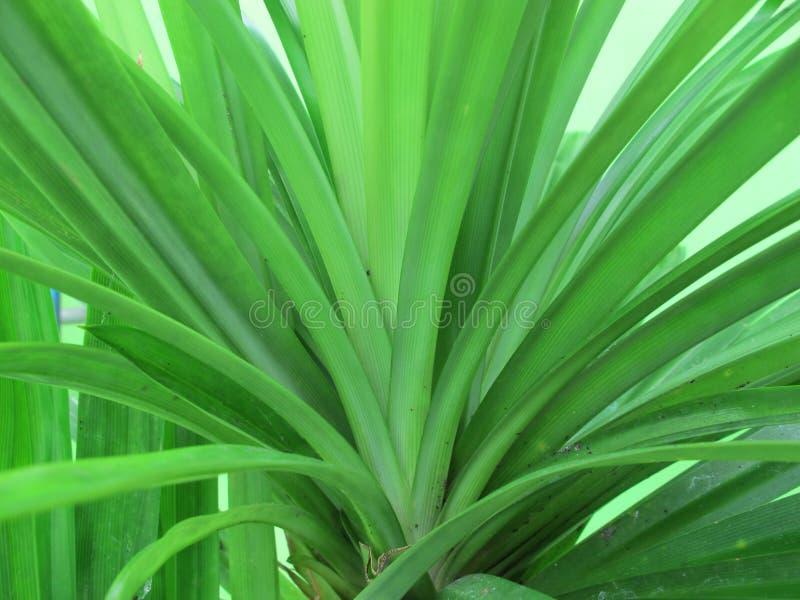 Fresh Pandan or Pandanus Green Leaf.  royalty free stock photography