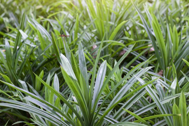 Fresh Pandan is a plant that has many benefits, such as herbs, for making food, sweets, beverages and fragrant in the garden. Fresh Pandan is a plant that has royalty free stock image