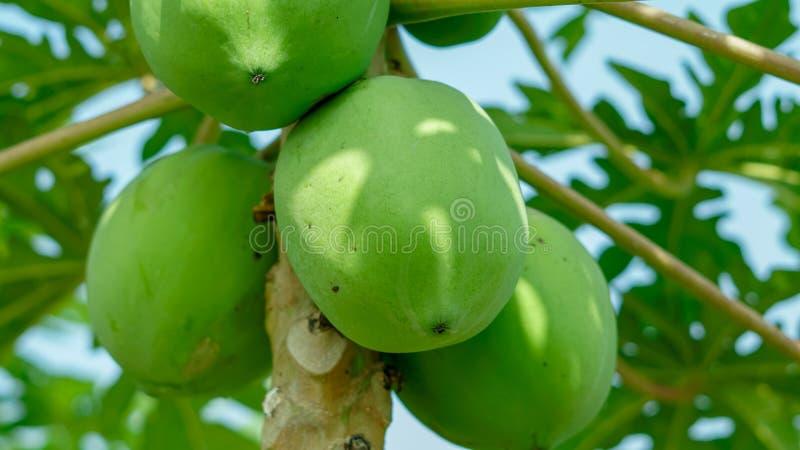 Fresh papaya hanging on a tree in macro mode. royalty free stock photo