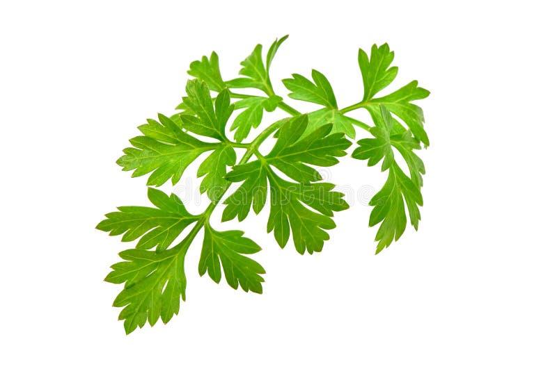 Fresh parsley, close-up, isolated on white background stock image
