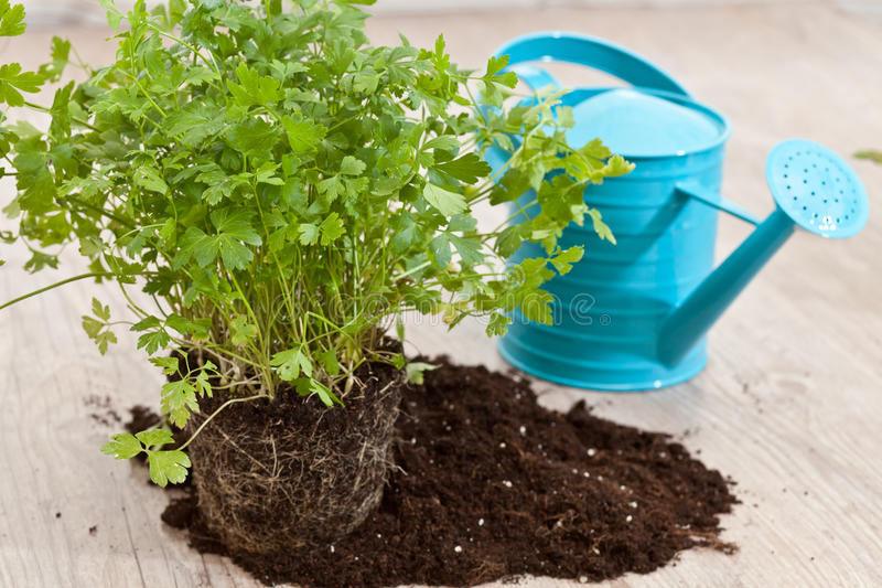 Download Fresh parsley plant stock image. Image of soil, ingredient - 21224429