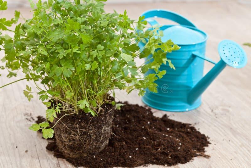 Fresh parsley plant