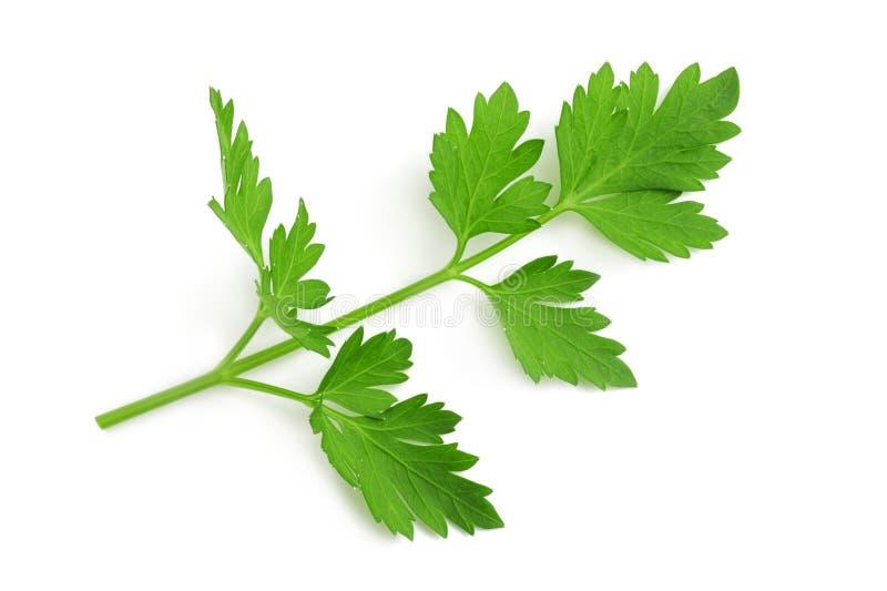 Fresh parsley sprig. Isolated on white royalty free stock photo