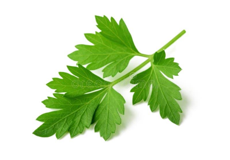 Fresh parsley. Sprig isolated  on white background stock image