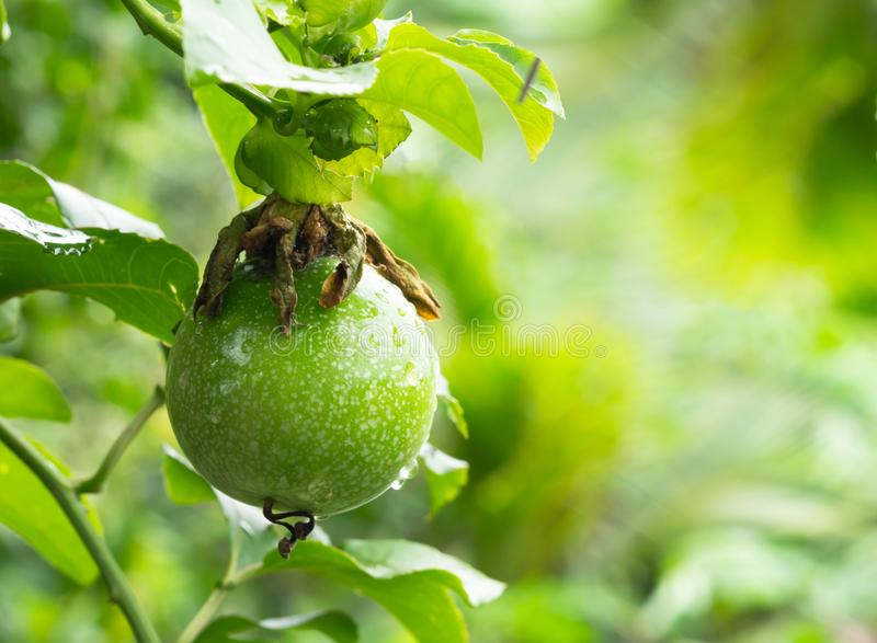Fresh Passiflora edulis or Passionfruit royalty free stock photography