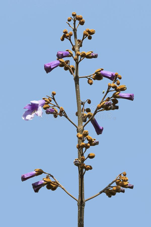 Fresh Paulownia flowers on the tree branch against a blue sky royalty free stock photos
