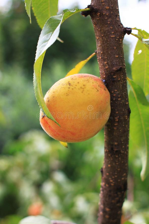Fresh peach on tree royalty free stock photos