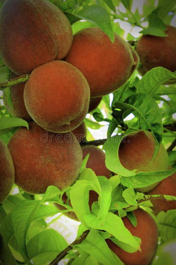 Fresh Peaches Ripening on the Tree royalty free stock photo