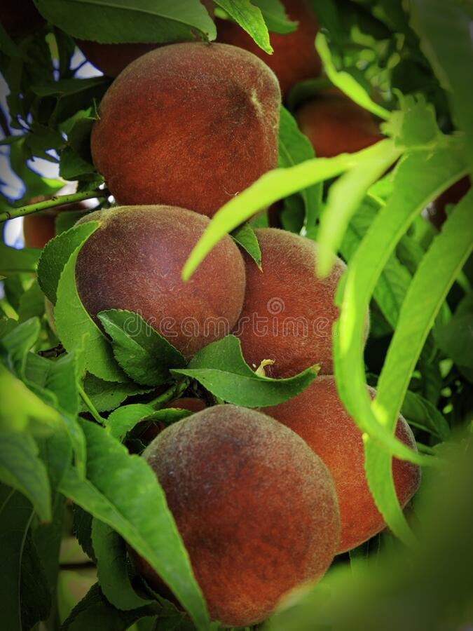 Fresh Peaches Ripening on the Tree royalty free stock photography