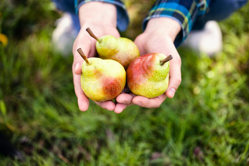 Fresh pear stock photos
