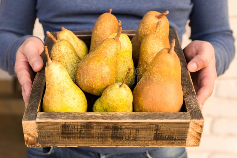 Fresh pears in male hands. Juicy flavorful pears in box, basket. Organic fruit for food or pear juice. Healthy food. Pear harvest royalty free stock photo