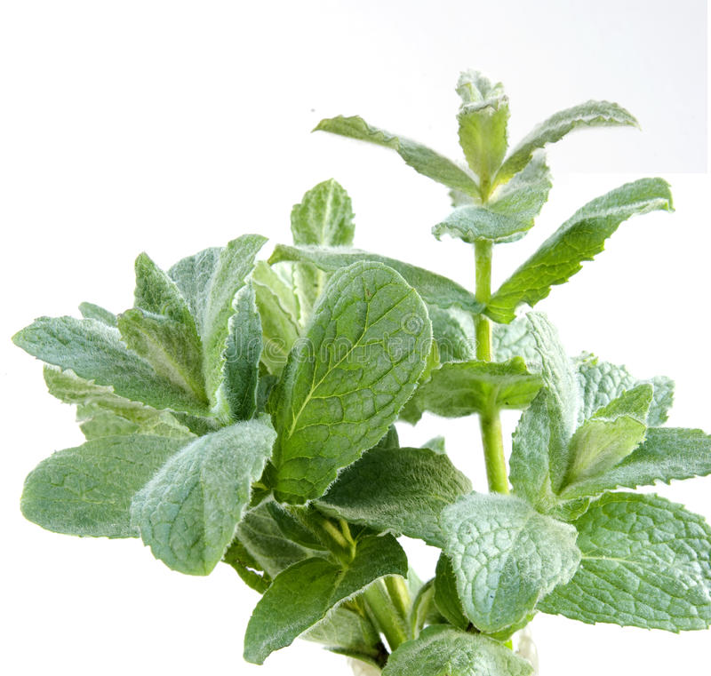 Download Fresh peppermint stock photo. Image of recipe, single - 9754934