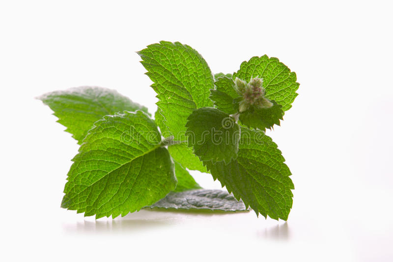 Fresh peppermint plant. stock image