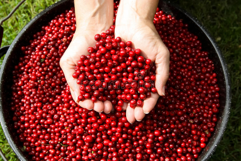 Fresh Picked Alaska Cranberries. Freshly picked bowl of Alaska cranberries royalty free stock photography
