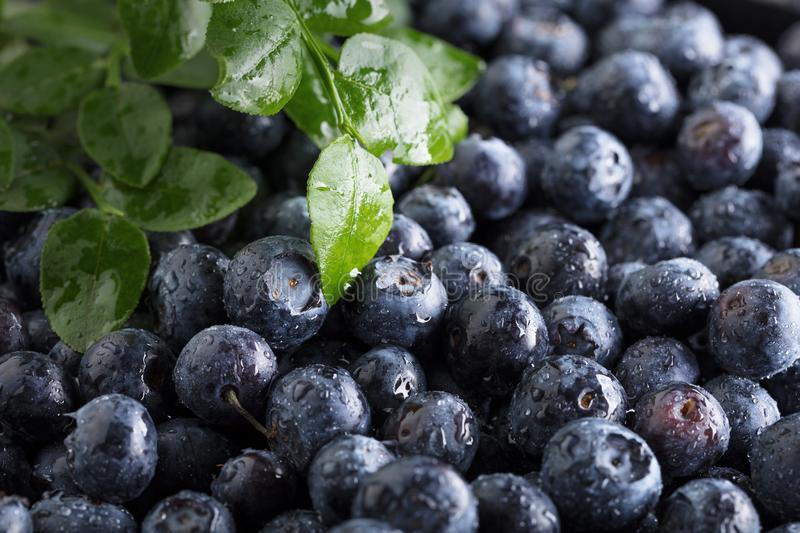 Fresh picked blueberries with water drops stock images
