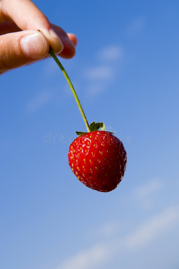 Fresh Picked Strawberry stock photography