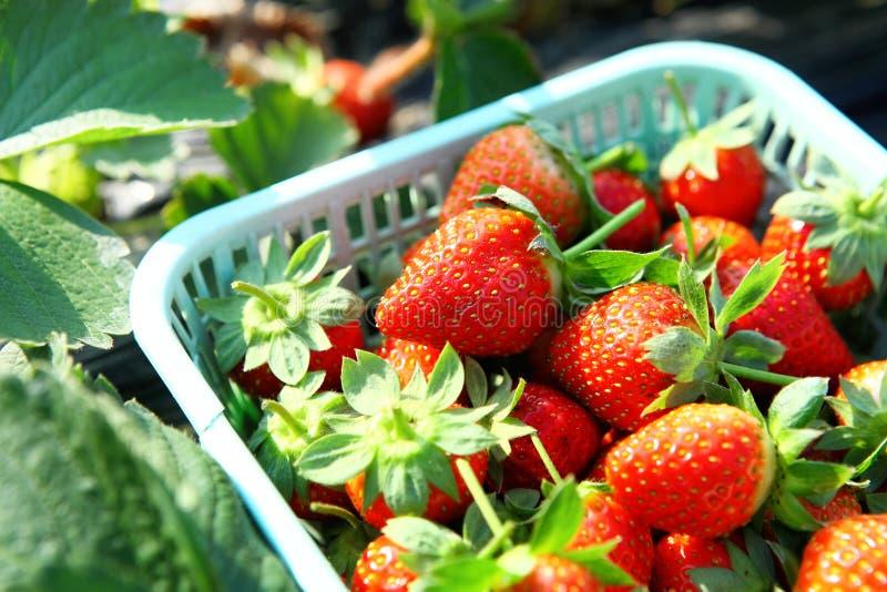 Fresh picked strawberry royalty free stock photo