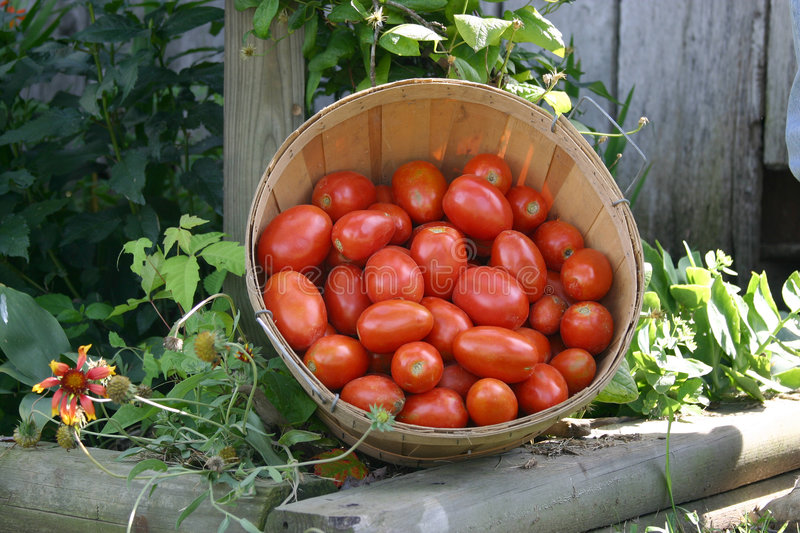 Download Fresh picked tomatoes stock photo. Image of basket, grown - 13700