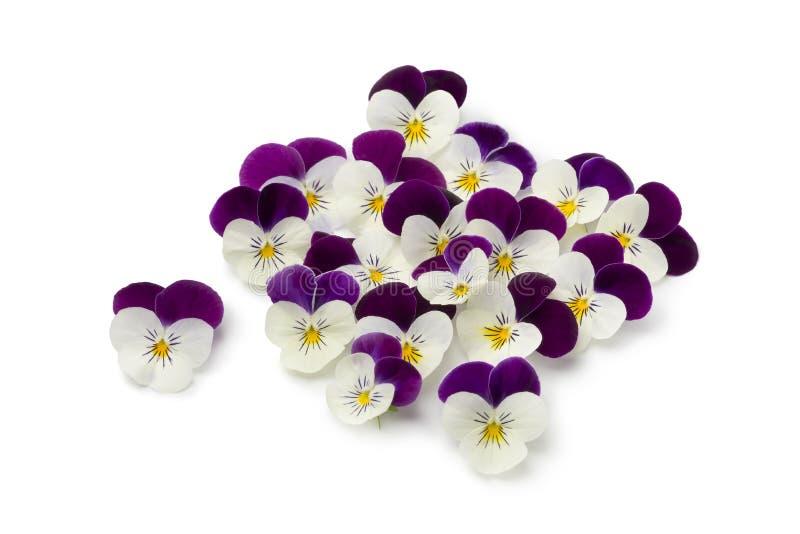 Fresh picked viola flowers. Isolated on white background stock image