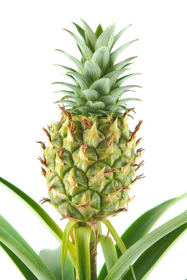 Fresh pineapple fruit on a pineapple plant Ananas comosus closeup stock photos
