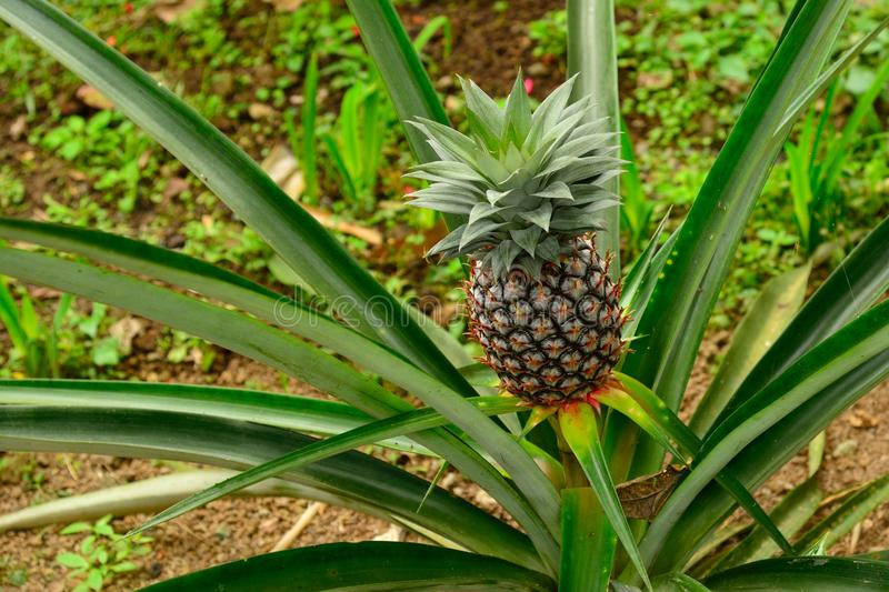 fresh pineapple in a tree stock image image of nutritional 33991719. Black Bedroom Furniture Sets. Home Design Ideas