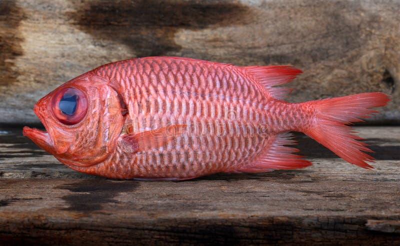 Fresh Pinecone soldierfish. stock photos
