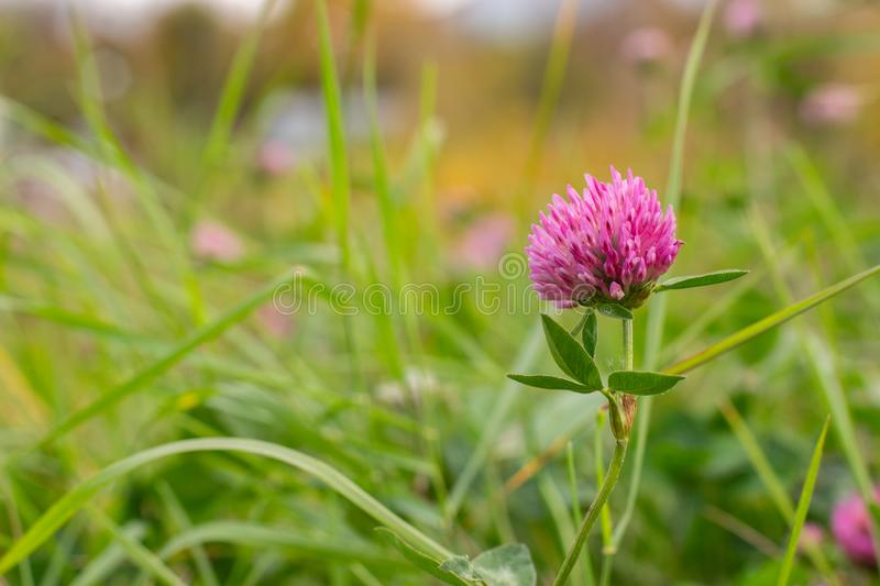 Fresh pink clover flower close-up on a background of green grass. Flowering meadow grass, background stock photography