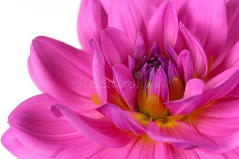 Fresh pink dahlia close up royalty free stock photos