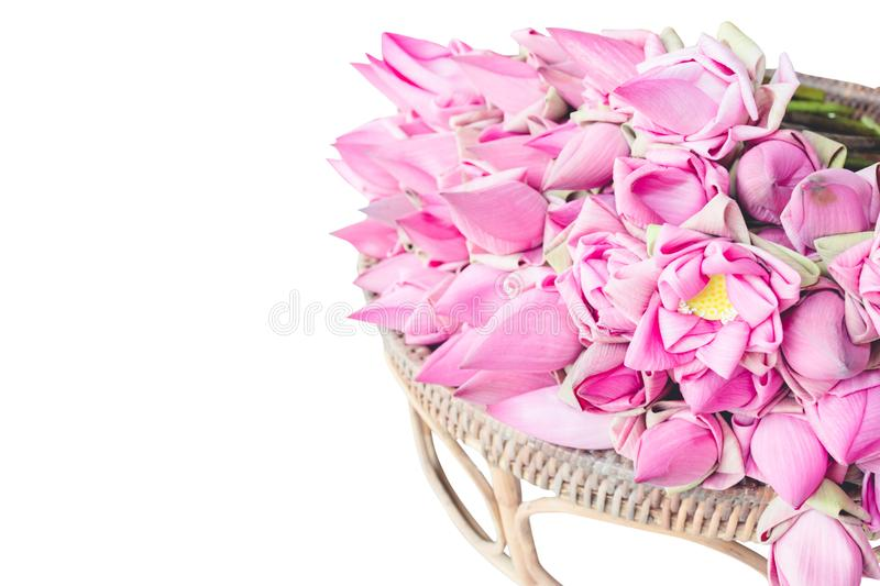 Fresh pink lotus buds offered to worshipers. Isolated on white with clipping path royalty free stock photo