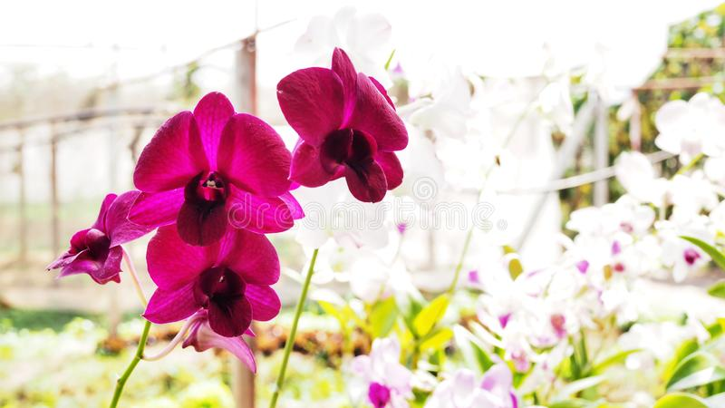 Fresh pink orchid flowers royalty free stock photo