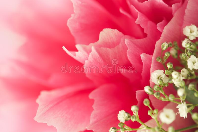 Fresh pink peony flowers with white gypsophila. Closeup of fresh pink peony flowers with white gypsophila. Gradient defocus. Card with space for text royalty free stock photography