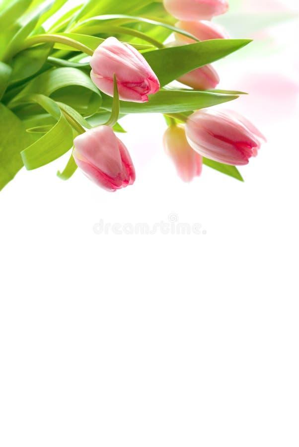 Download Fresh pink tulips stock image. Image of garden, flower - 7855805
