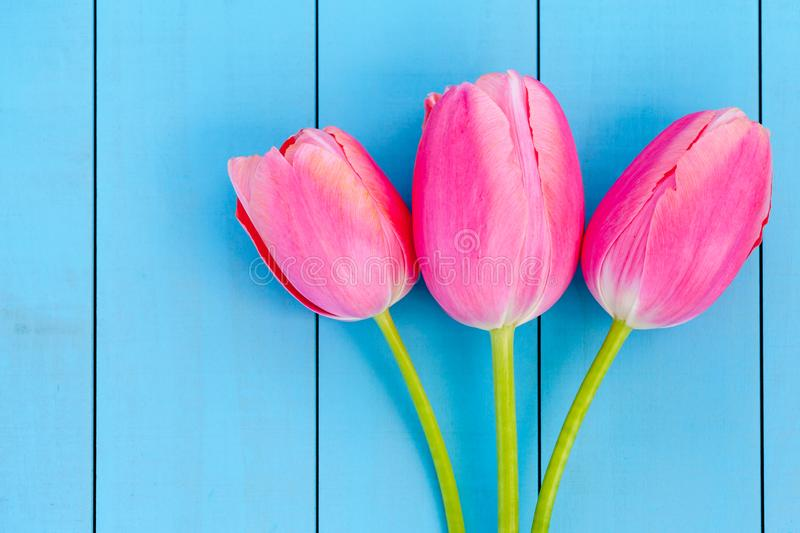 Fresh Pink Tulips. Pink tulips on a blue background. Springtime royalty free stock image