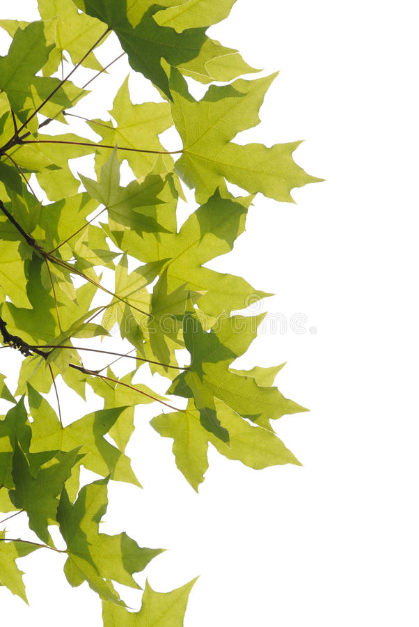 Download Plane trees  leaves stock photo. Image of growth, freshness - 30297238