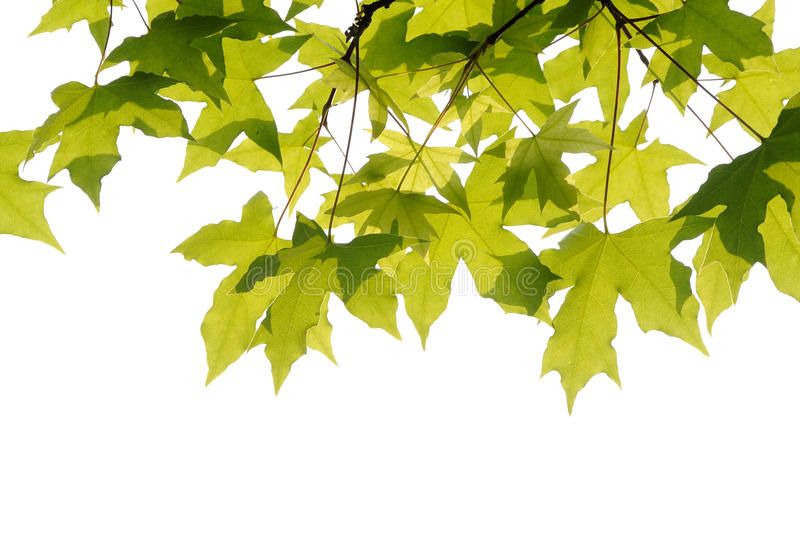 Download Plane trees  leaves stock image. Image of forest, colour - 30297275
