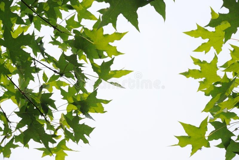 Download Fresh plane trees  leaves stock photo. Image of freshness - 30580888